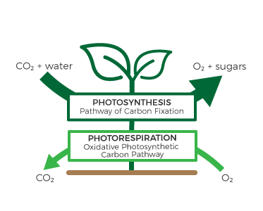 Carbon Fixation in Plants