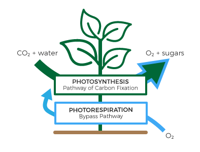 Genetically modified plant with a bypass route for photorespiration